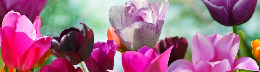 tulips-060