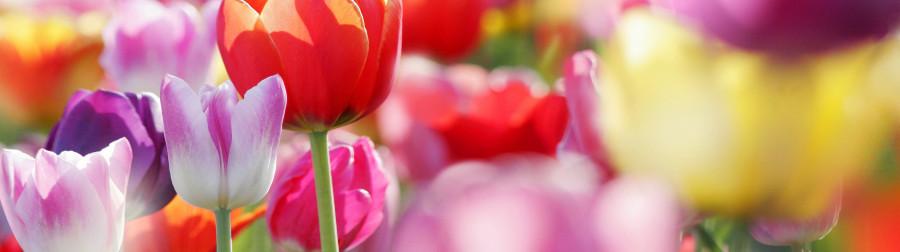 tulips-006