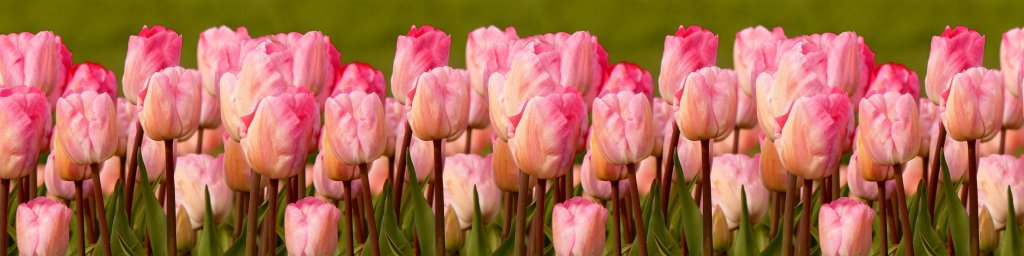 tulips-092