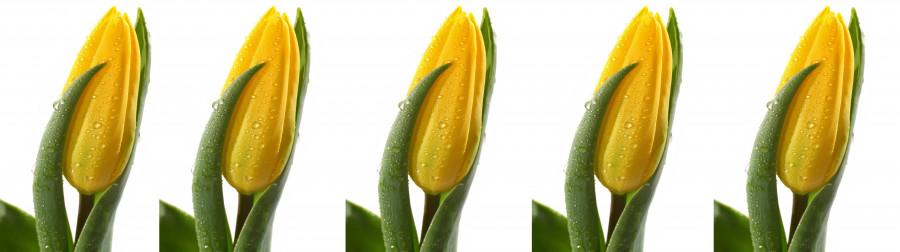 tulips-088