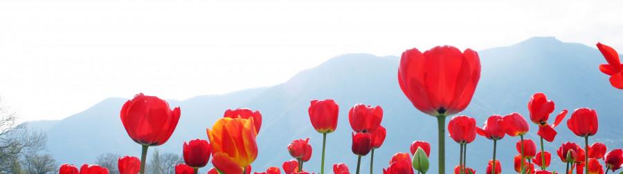 tulips-089