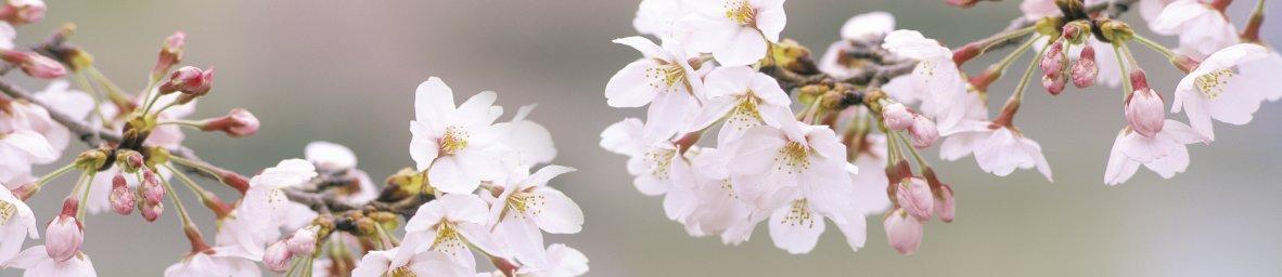 flowering-trees-052