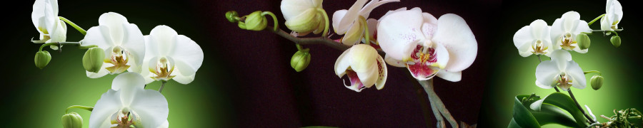 orchids-081