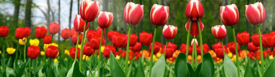 tulips-026