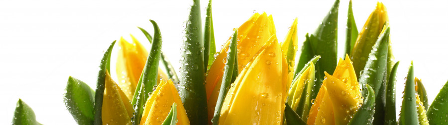 tulips-009