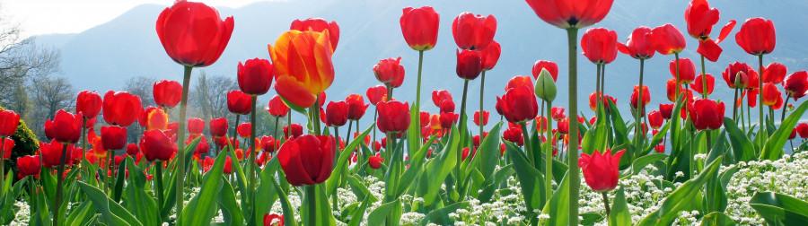 tulips-090