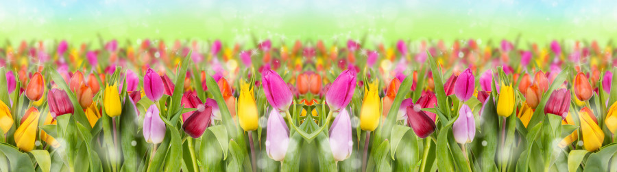tulips-084