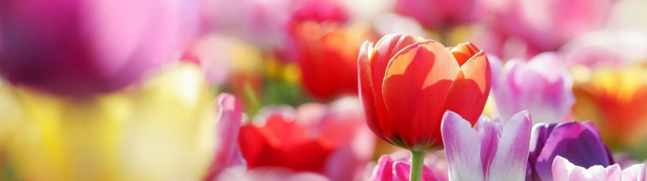 tulips-052