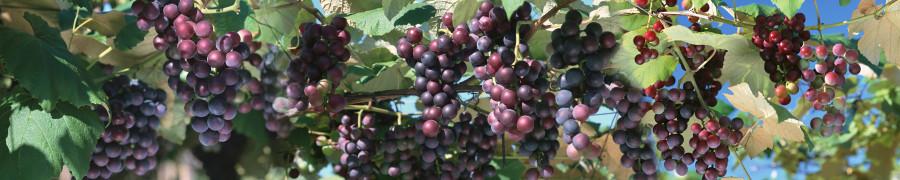fruit-156