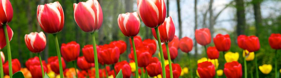 tulips-082