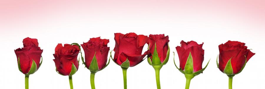 roses-005
