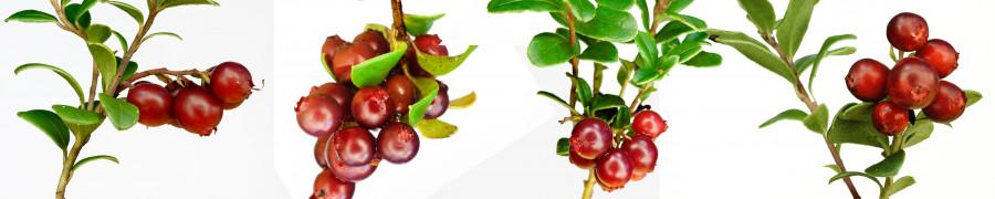 fruit-171