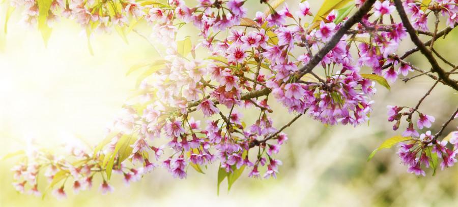 flowering-trees-024