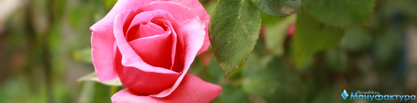 roses-024