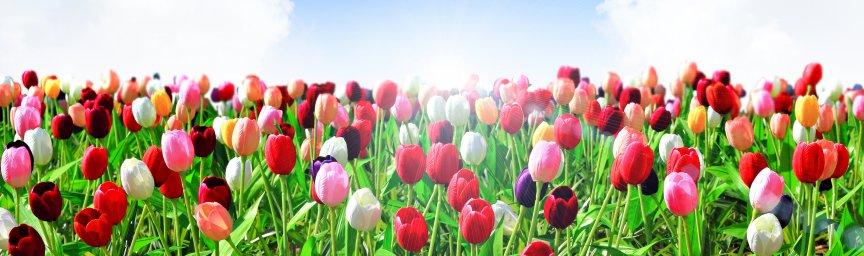 tulips-030