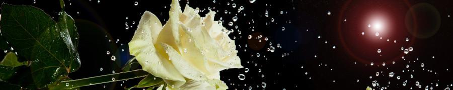 roses-007