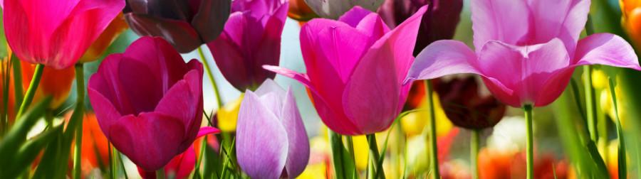 tulips-043