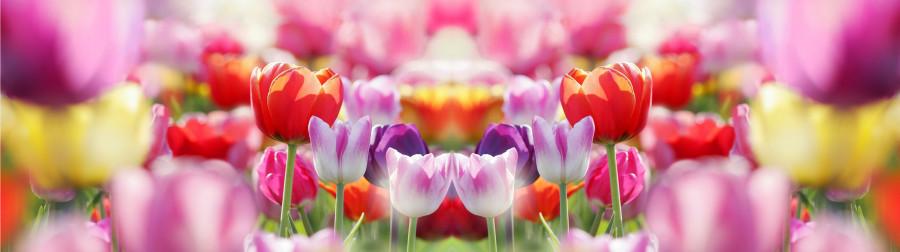 tulips-019